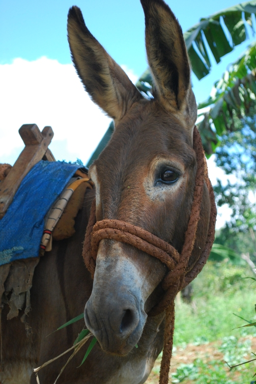 Jamaican Pack Mule