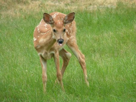 Original Image of the little fawn