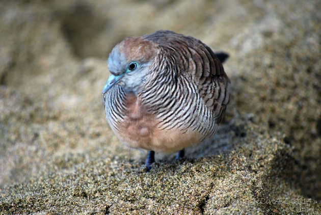 Zebra Dove on Kauai