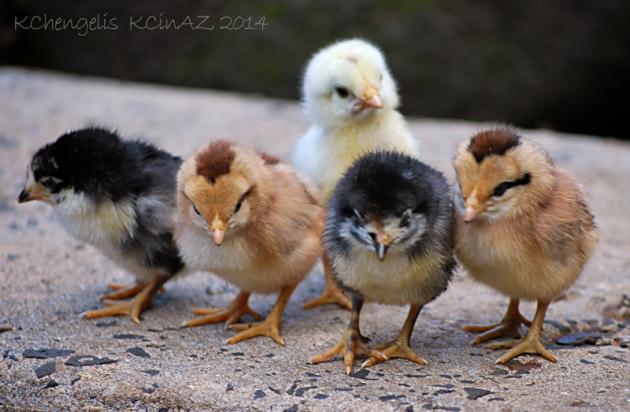 Baby Chicks from Kauai
