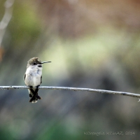 Hummingbird on Guard