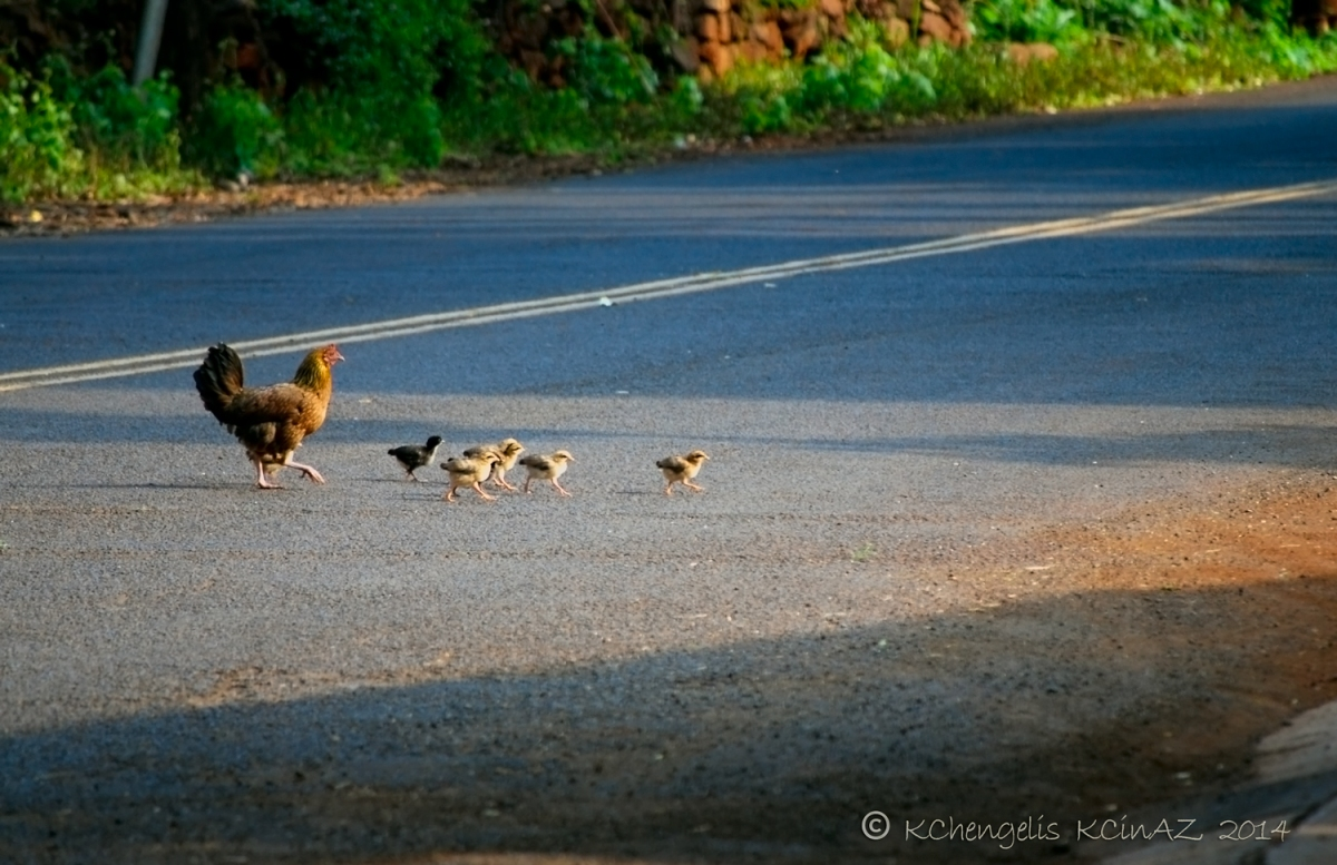 Momma chick with babies between her and the other side of the street.