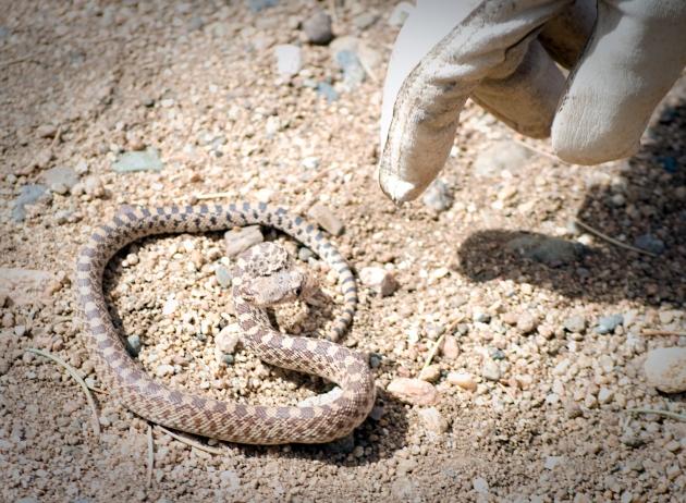Baby Razorback Snake