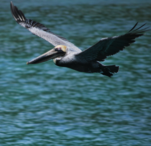 pelican1