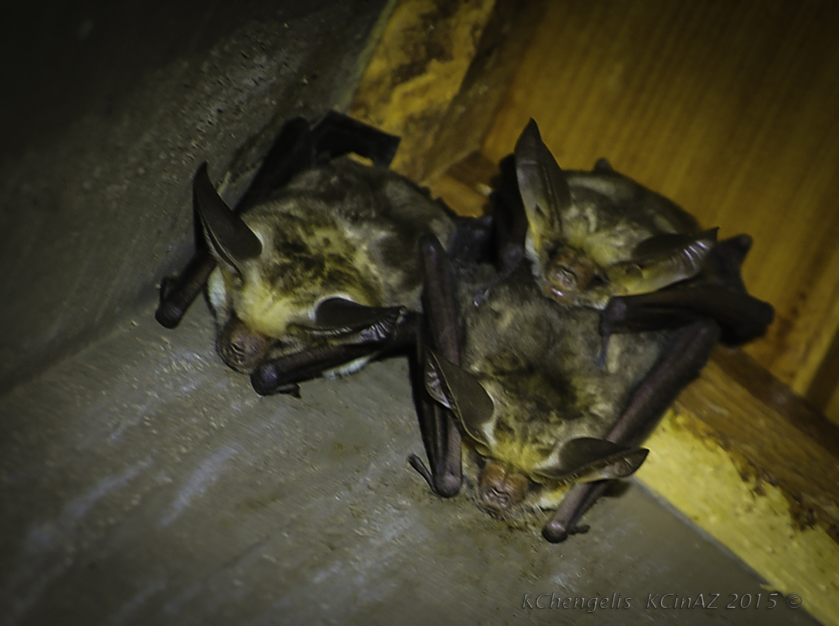 Bat Family Sleeping Over at the Cabin