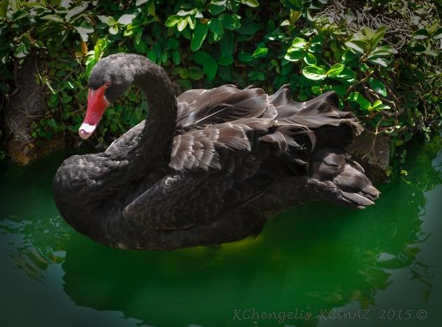Black Swan Aruba