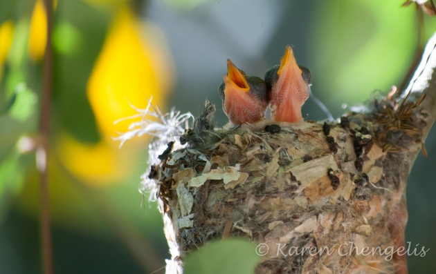 Newborn Hummingbirds Crying out for a Meal