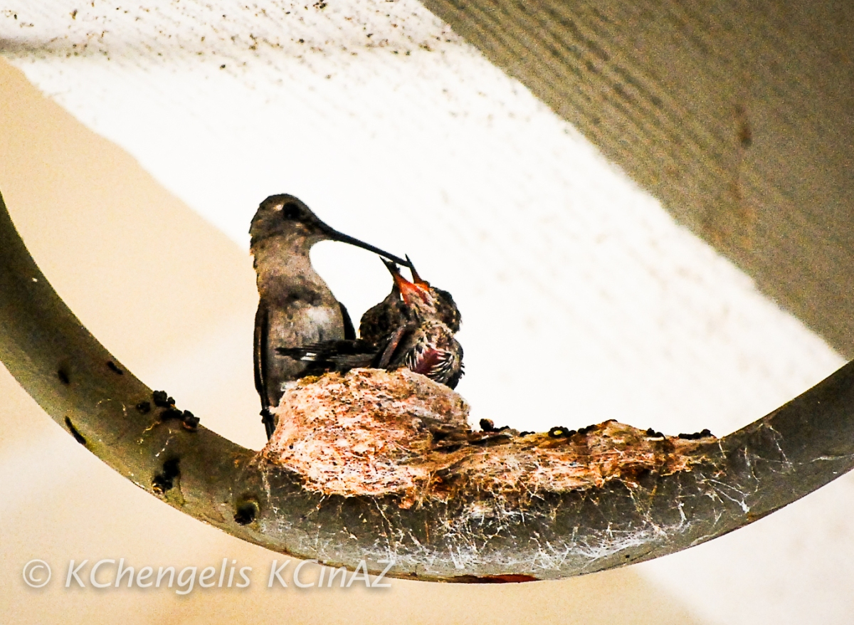 Mamma Hummingbird Feeding Her Young