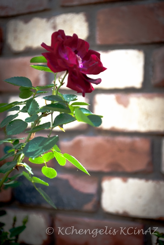 Flower Against the Blur of a Brick Wall