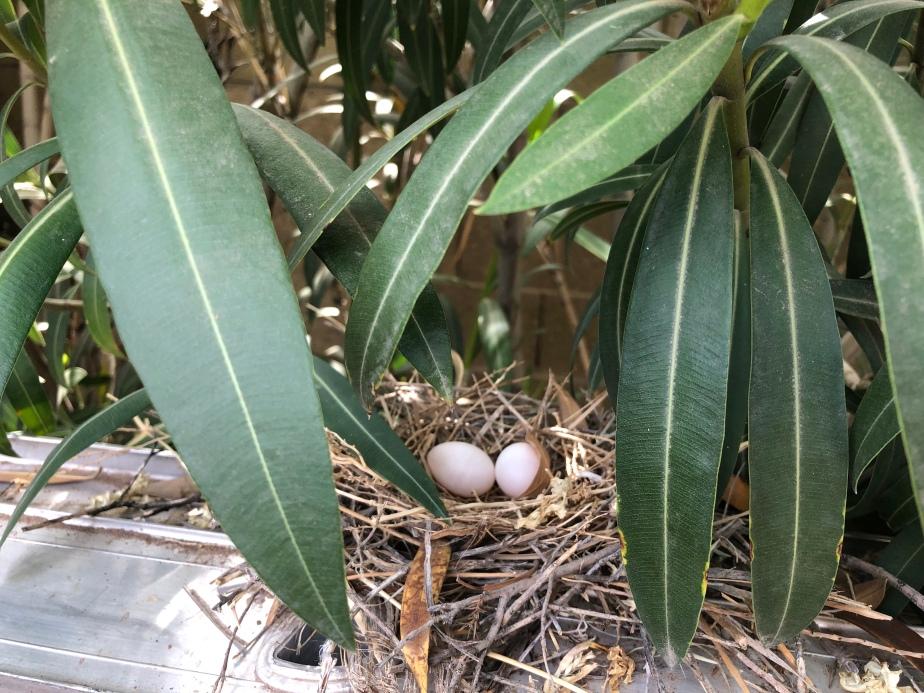 Morning Doves Nest